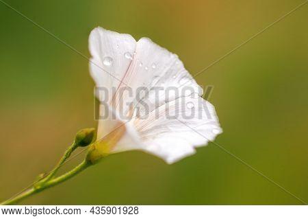 Cream White Bindweed Bloom In The Morning Light