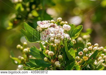 Delicate Hawthorn Blossom In The Morning Light