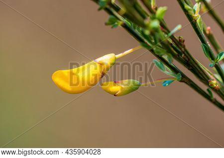 Golden Yellow Blossom In The Morning Light