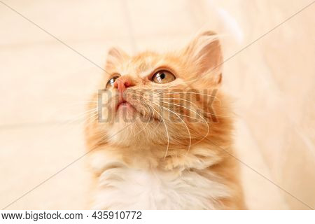 A Little Kitten With A Beautiful Look, Looking Up, Close-up