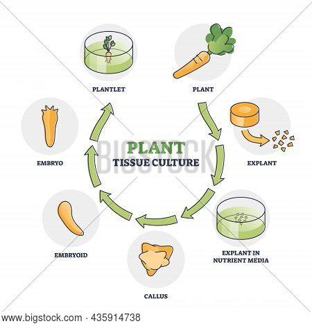 Plant Tissue Culture Technique To Maintain Or Grow Cells Outline Diagram. Labeled Educational Scheme