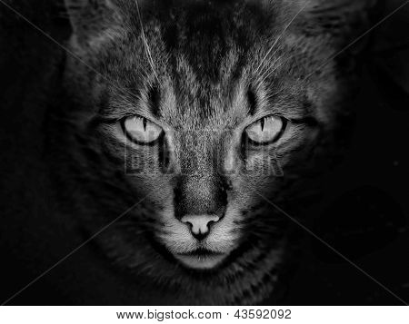 scary cat face in black and white color poster