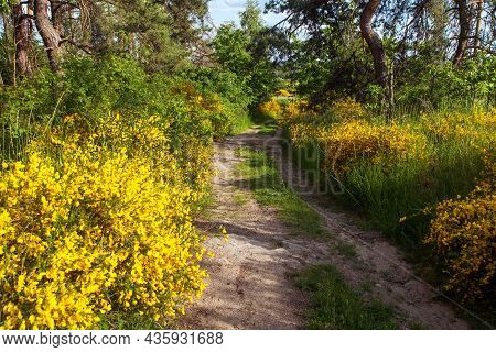 Cytisus Scoparius, The Common Broom Or Scotch Broom Yellow Flowering In Blooming Time And Dirt Road,
