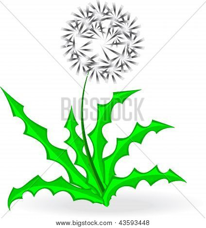 Dandelion, Over White