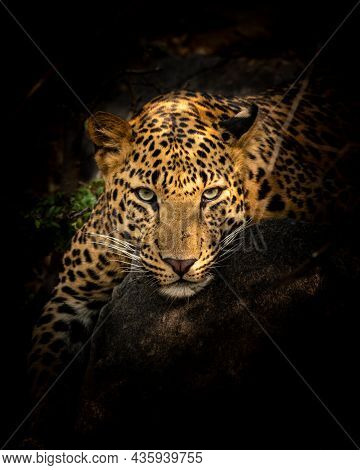 Indian Wild Male Leopard Or Panther Resting On Big Rock In Isolated Black Background In Forest Of Ce