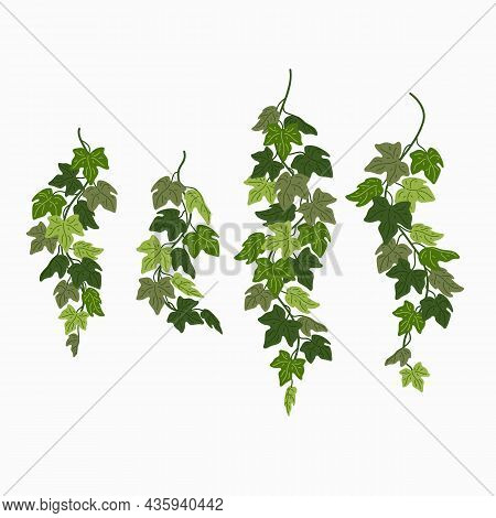 Ivy Vines, Green Leaves Of A Creeper Plant Isolated On White Background. Vector Illustration In Flat