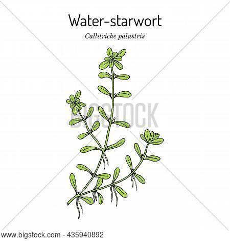 Vernal Water-starwort Callitriche Palustris , Aquatic Plant. Hand Drawn Botanical Vector Illustratio