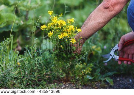 Man  Harvesting Medicinal Herb St. John's Wort With Gardening Tools In Field. Summertime. Herb Pharm