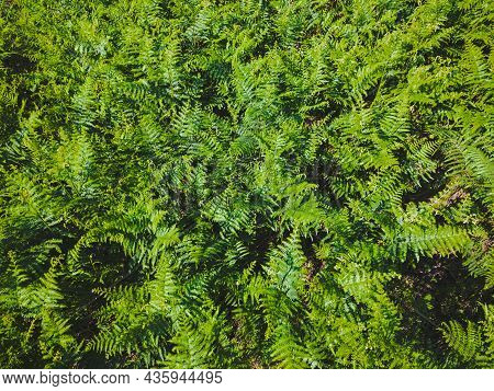 Green Leaves Of Fern Fronds. Background Of Wild Green Fern Blooming In Summer. Top View