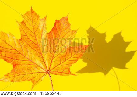 Texture Of Multicolored Maple Leaf With Shadow On Yellow Surface. Autumn Composition. Bright Autumn