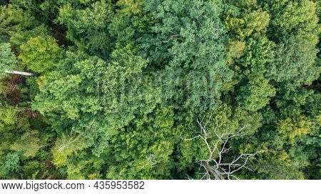 Top View Of Mixed Tree Stand With Dry Dead Spruce Tree Still Standing, Bialowieza Forest, Poland, Eu