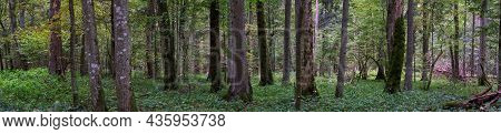 Natural European Deciduous Autumnal Forest Panorama With Dead Tree Lying, Bialowieza Forest, Poland,