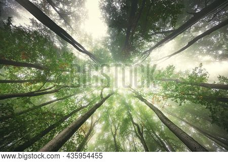 Foggy Mystic Forest. Trees In Autumn Woodland In A Fog.