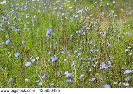 Multiple Common Chicory Close-up Landscape View With Focus On Foreground