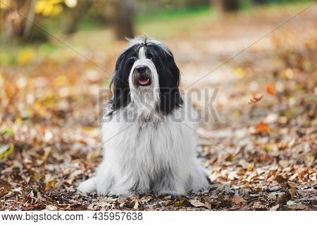 Portrait Of Tibetan Terrier Dog Sitting On The Road In The Autumn Forest Among Colorful Leaves.  Sel