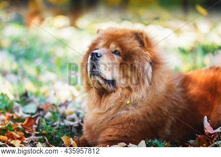 Portrait Of A Beautiful Chow Chow  Male Dog Lying Among Autumn Leaves  On Sunny Day, Selective Focus