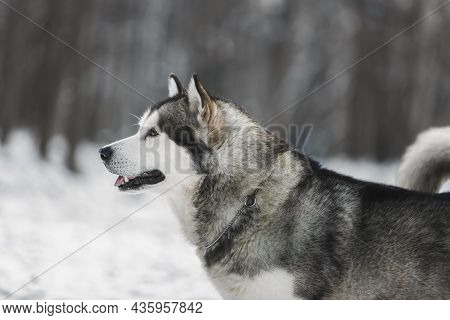 Side View Of Alaskan Malamute Dog  On Snow In Winter Forest On Blurred Background