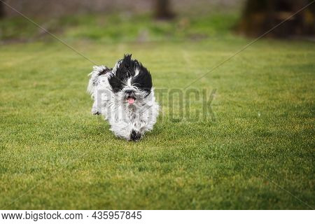 Excited Tibetan Terrier Dog Running Outdoors  With The Dog Tongue Sticking Out. Selective Focus, Cop