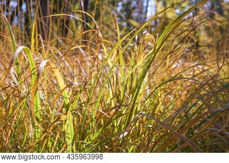Dried Grass. The Concept Of Global Warming And Lack Of Precipitation. Plants Die Without Water. High