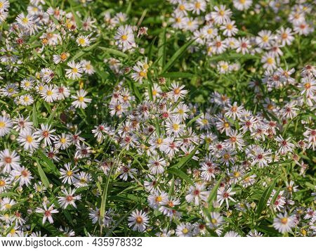 Autumn Meadow. Tiny Flowers Of Wild Echinacea. Violet Petals, Yellow Center.