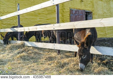 Domesticated Black Donkeys In The Paddock On The Farm. Pets On A Summer Day.