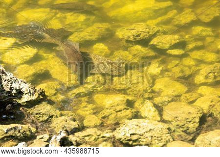 Armored Catfish Is Also Called Sailfin Catfish, The Vermiculated Sailfin And The Hypostomus (plecos)