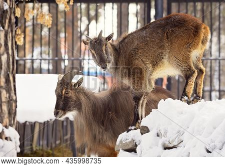 Two Blue Sheep In The Snow. Mountain Wild Animals From The Himalayas, With Thick Long Fur