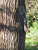 upsidedown grey squirrel climbing tree bark going down ** Note: Slight blurriness, best at smaller sizes poster