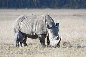 White Rhino with calf at Lake Nakuru Natural Park poster