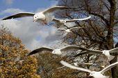 sea-gull flying in Hyde Park. London. UK poster