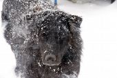 A black labrador Retriver mix in the snow. poster