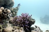 coral reef with lilac hood coral and exotic fish on the bottom of red sea in egypt poster