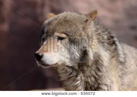 Young Male Wolf
