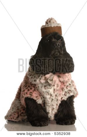 american cocker spaniel dressed up in fur coat and hat poster