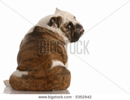 Bulldog Looking Over Sholder