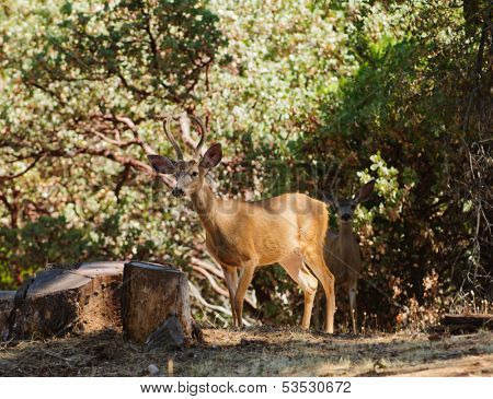 Pair of male black-tailed deer sneaking out of the shadows in velvet