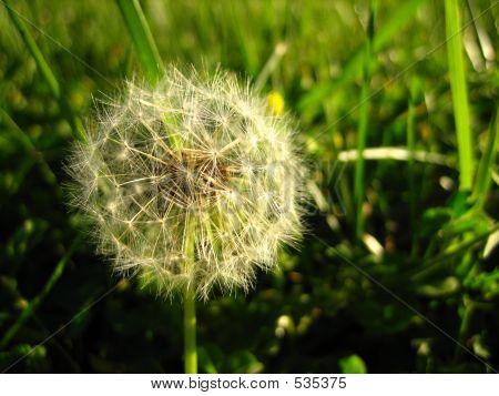 Dandilion In Grass