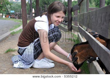 Little teen girl feeding goat on farm poster