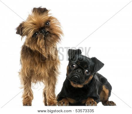 Two Griffon Bruxellois with interrogative look, isolated on white