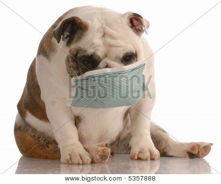 Bulldog With Medical Mask