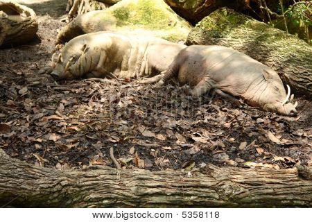 Photo of Two boar sleeping in the singapore zoo. poster