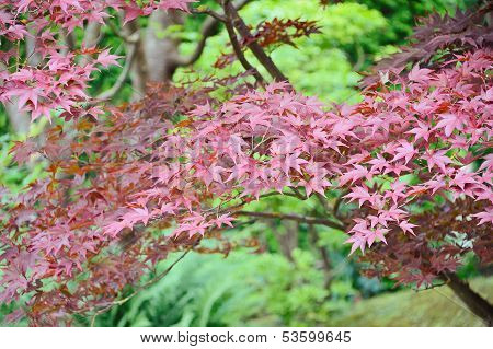 Autumn Colours Of Japanese Mapple's Leaves