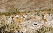 Coyotes in Death Valley National Park poster