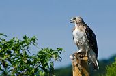 A Hungry Red-Tailed Hawk With Captured Prey poster