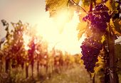 Vineyards at sunset with grapes in autumn harvest poster