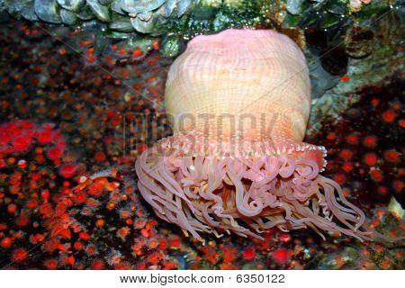 anemone.