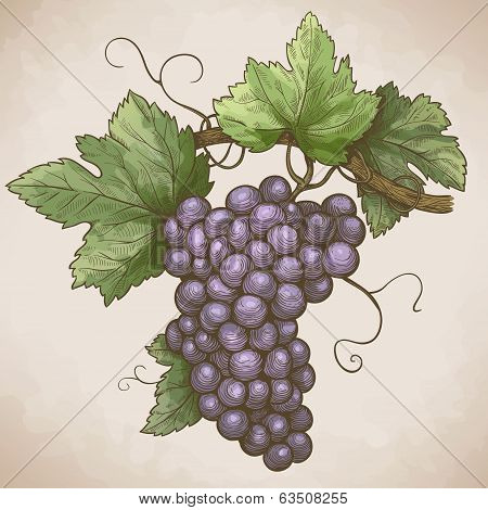 vector engraving illustration of grapes on the branch in retro style poster
