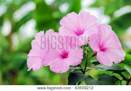 Pink Morning Glory Beautiful Flowers