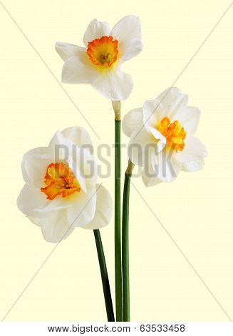daffodils against yellow background
