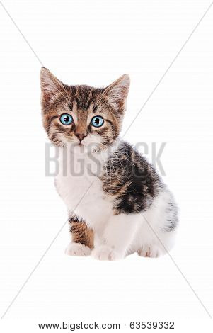 White And Brown Tabby Cat With Blue Eyes